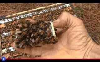 Animali: animali  artropodi  imenotteri  api