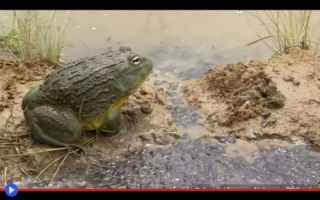 Animali: animali  rane  rana toro  africa