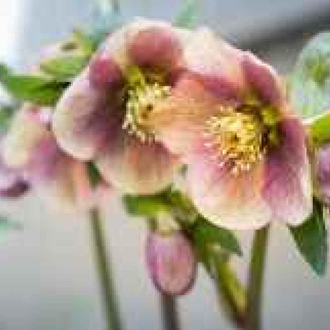 fiori  inverno  elleboro  crocus