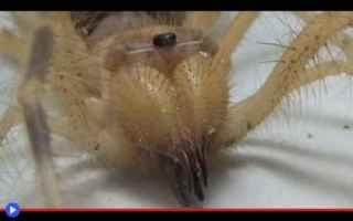 animali  aracnidi  solifughi  ragni