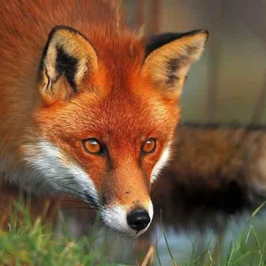 Cosa significa sognare una volpe il simbolo della volpe - Immagini di volpe spugna a colori ...