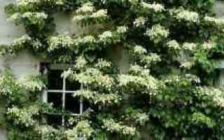 Giardinaggio: Rampicanti adatti alla copertura di cancellate all