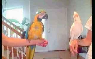 pappagalli ballerini  pappagalli  what is love  haddaway