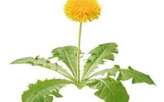 La varietà di Tarassaco usata in fitoterapia e più conosciuta è quella con il nome scientifico di