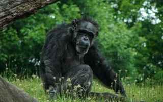 ricerca  scienza  scimpanzé  bonobo