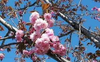 hanami  laghetto eur  fiori di ciliegio