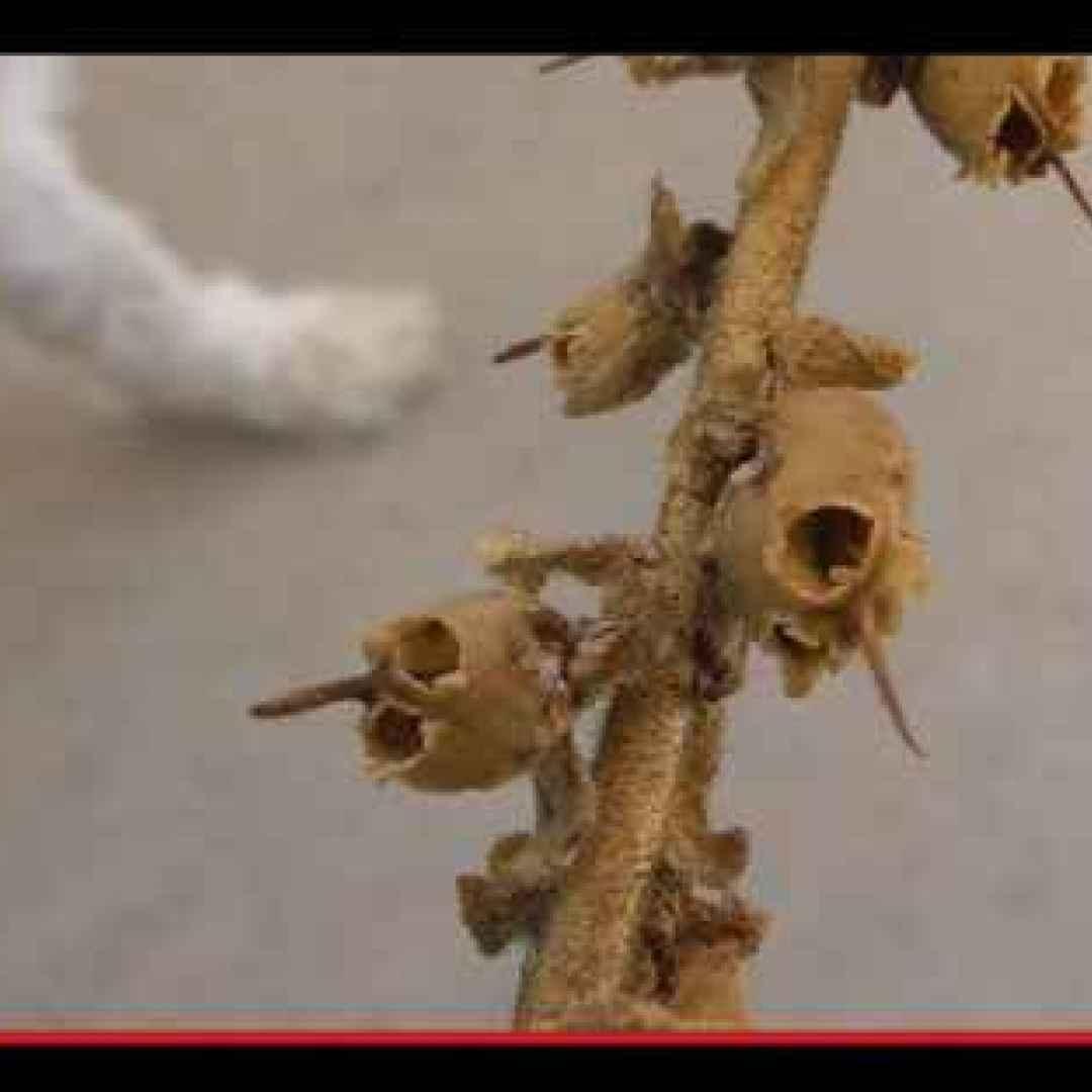 piante  vegetali  fiori  folklore