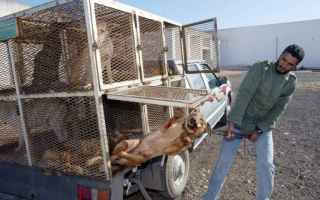 Animali: marocco  cani