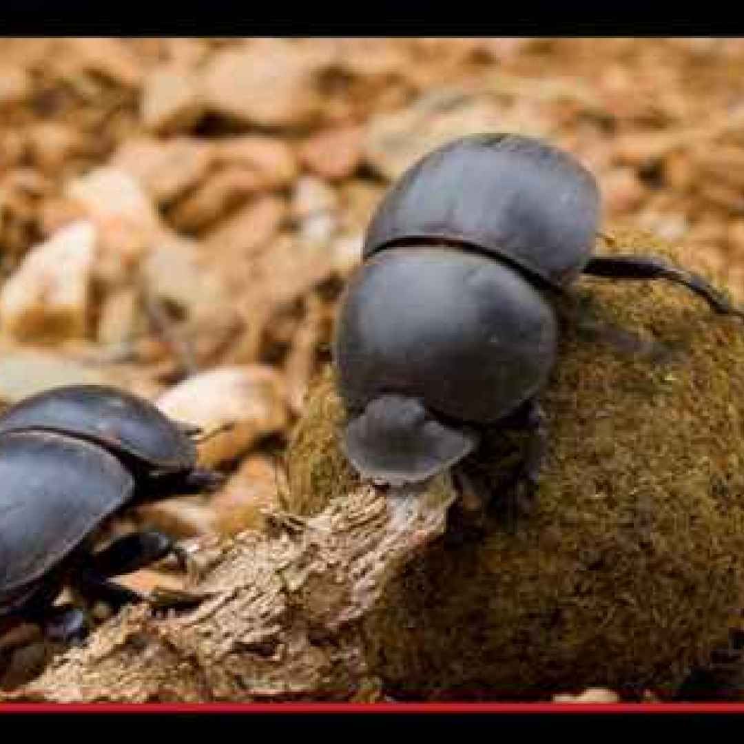 animali  insetti  africa  scarabei