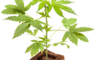 Salute: ansia  cannabis  depressione  panico