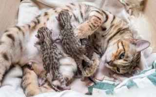 Animali: gatto  gravidanza  gestazione