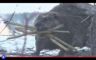 animali  castori  roditori  stati uniti