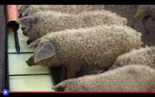 animali  fattoria  allevamento  maiali