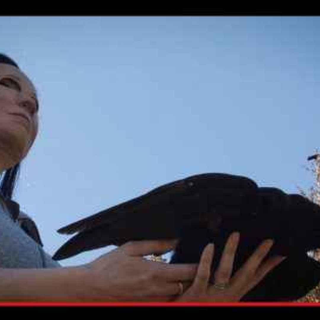 animali  uccelli  corvi  esperimenti