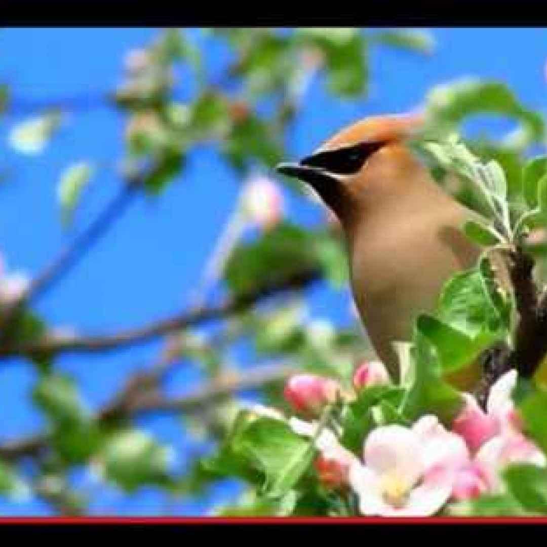 Un uccello ramingo dalle ali di cera