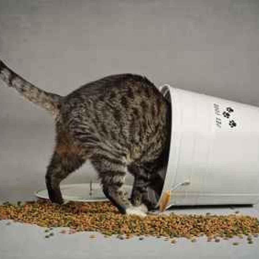 Come alimentare correttamente il gatto dopo la sterilizzazione