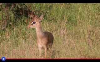 animali  antilopi  ungulati  bovidi