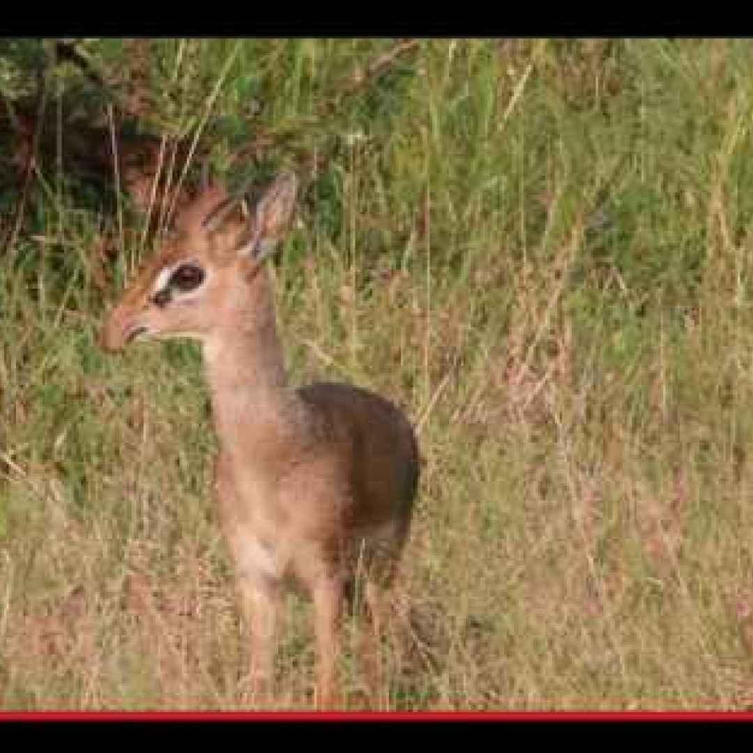 Dik dik, la mini-antilope che non ha bisogno di bere