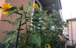 Giardinaggio: girasole  piante  fiori  giardinaggio