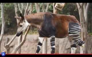 animali  strane creature  africa  congo