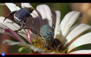 insetti  scarabei  sudafrica  fiori