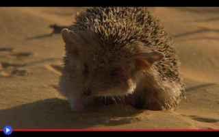 animali  mammiferi  ricci  porcospini