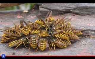Animali: vespe  animali  insetti  combattimento