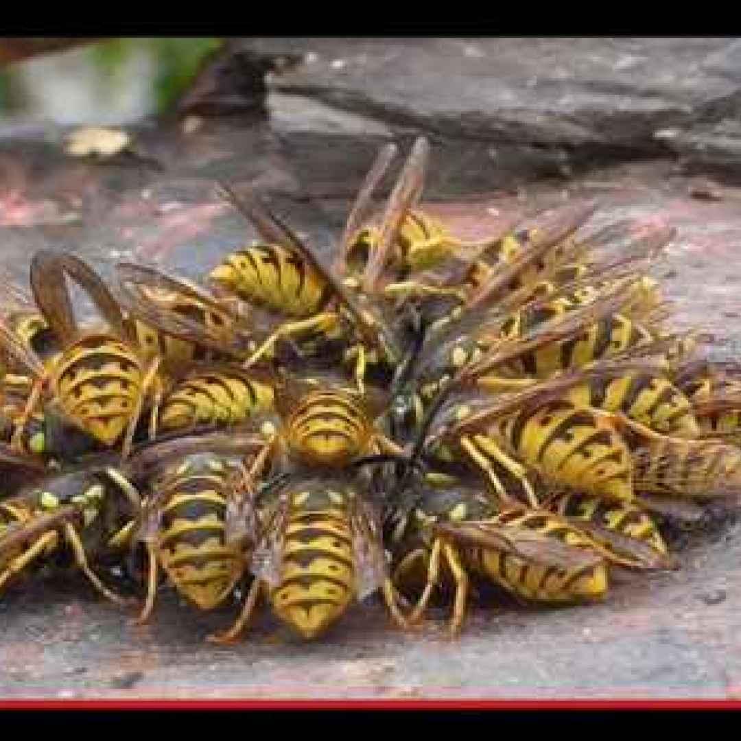vespe  animali  insetti  combattimento
