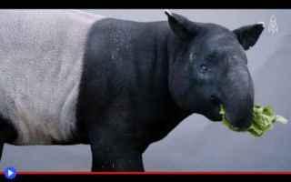 animali  mammiferi  tapiri  malesia