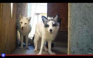 Animali: esperimenti  animali  volpi  scienza