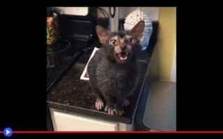 Animali: gatti  animali  razze  strano  lupi
