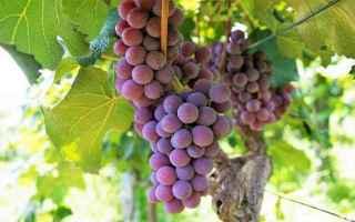 Psiche: interpretazione sogni  sognare uva