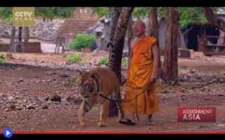Animali: animali  tigri  thailandia  templi