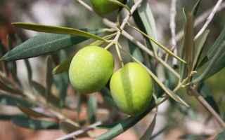 ulivo  estratto  foglie  antitumorale