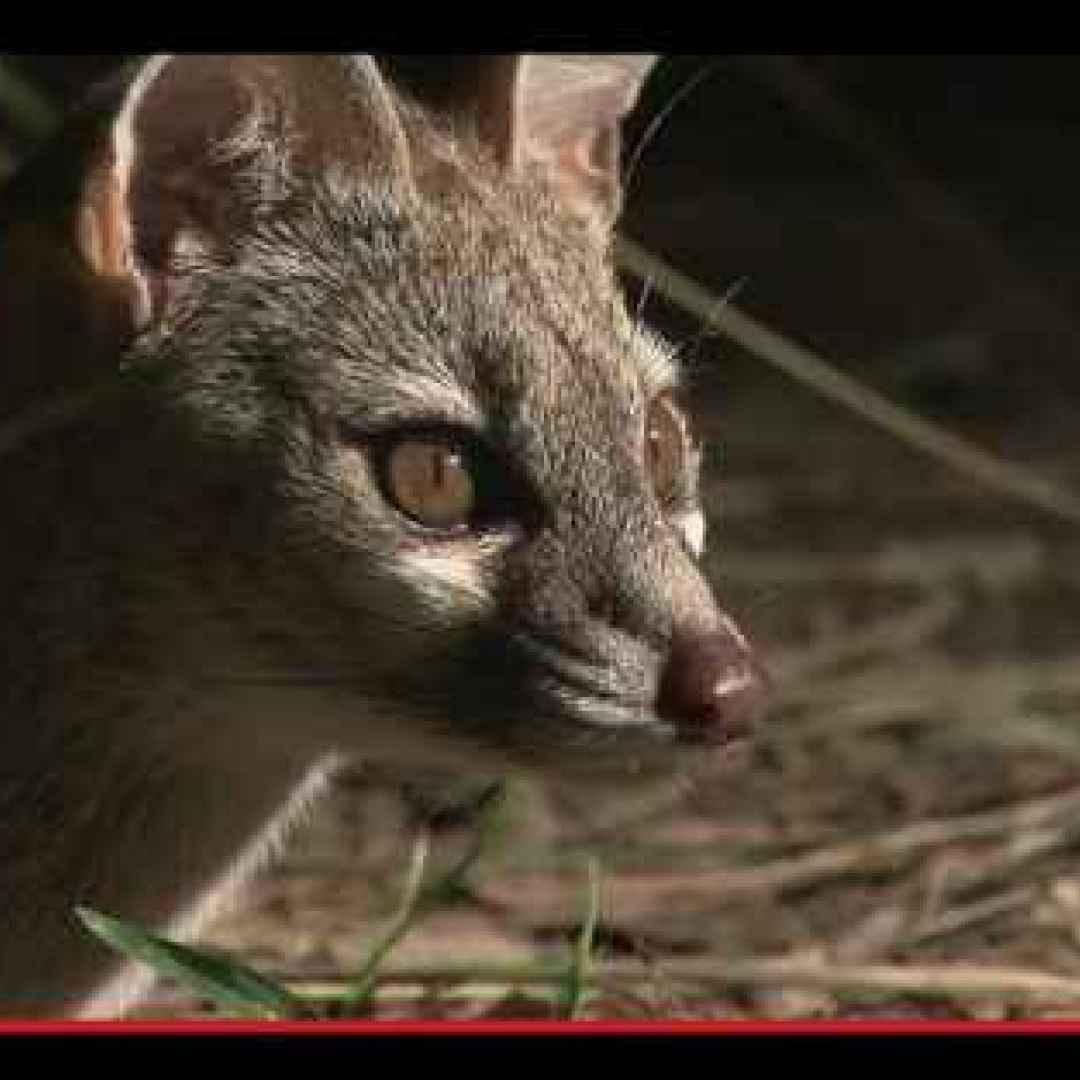 La sorprendente predisposizione domestica di un gatto primitivo