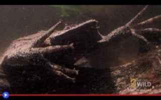 animali  anfibi  rospi  sudamerica