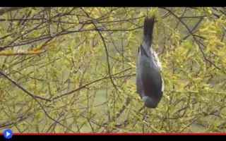uccelli  nuova zelanda  colombi