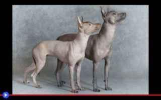 animali  cani  razze  messico  genetica