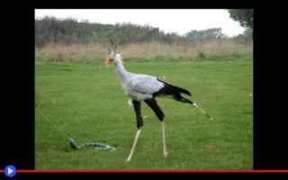 animali  uccelli  africa  predatori