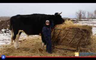 Animali: animali  mucche  record  dimensioni