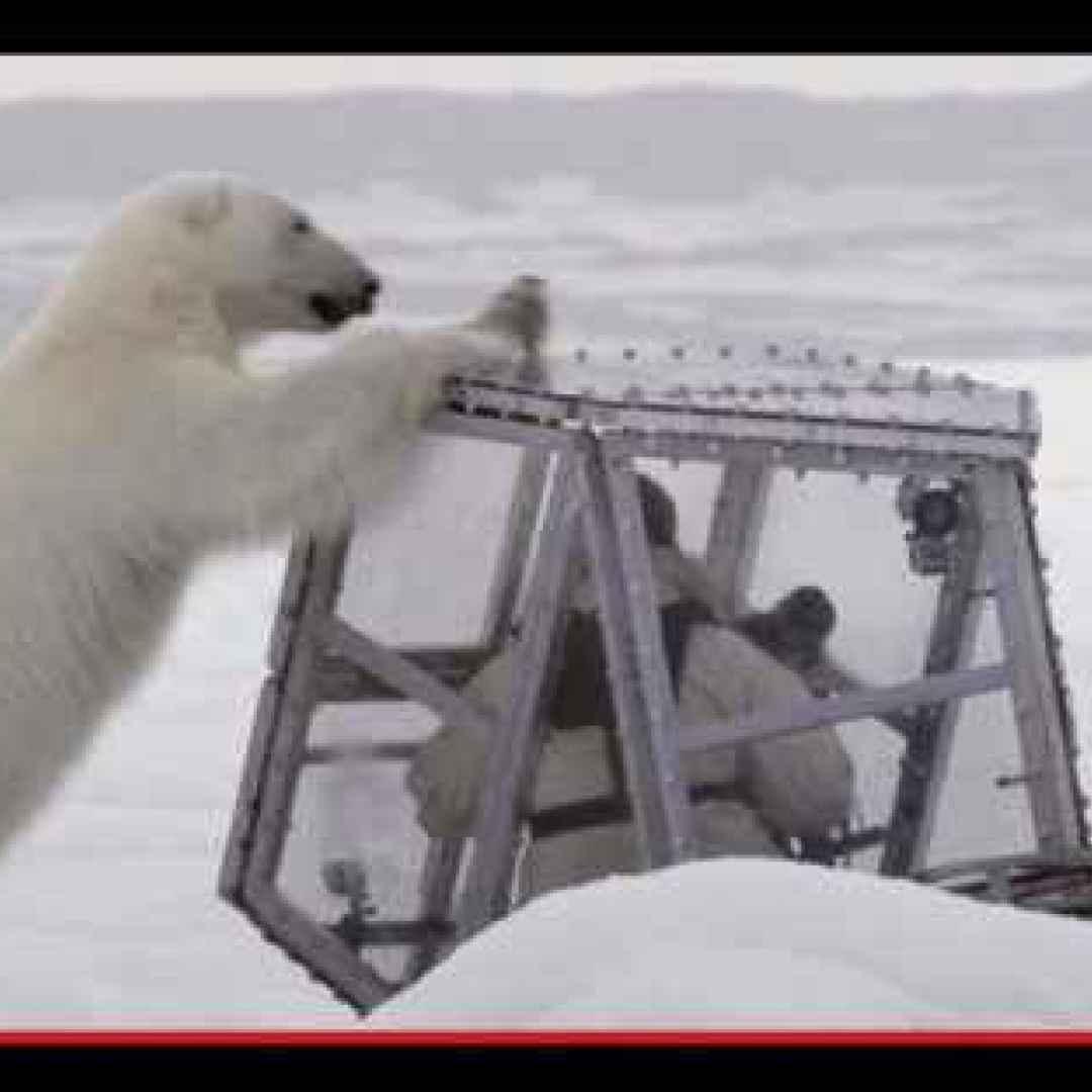 animali  orsi  artico  natura