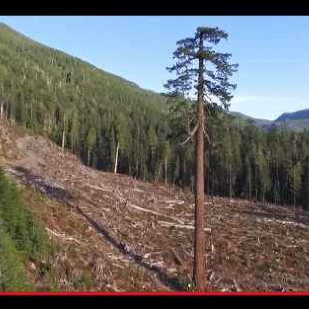 alberi  abeti  foresta  canada  isole