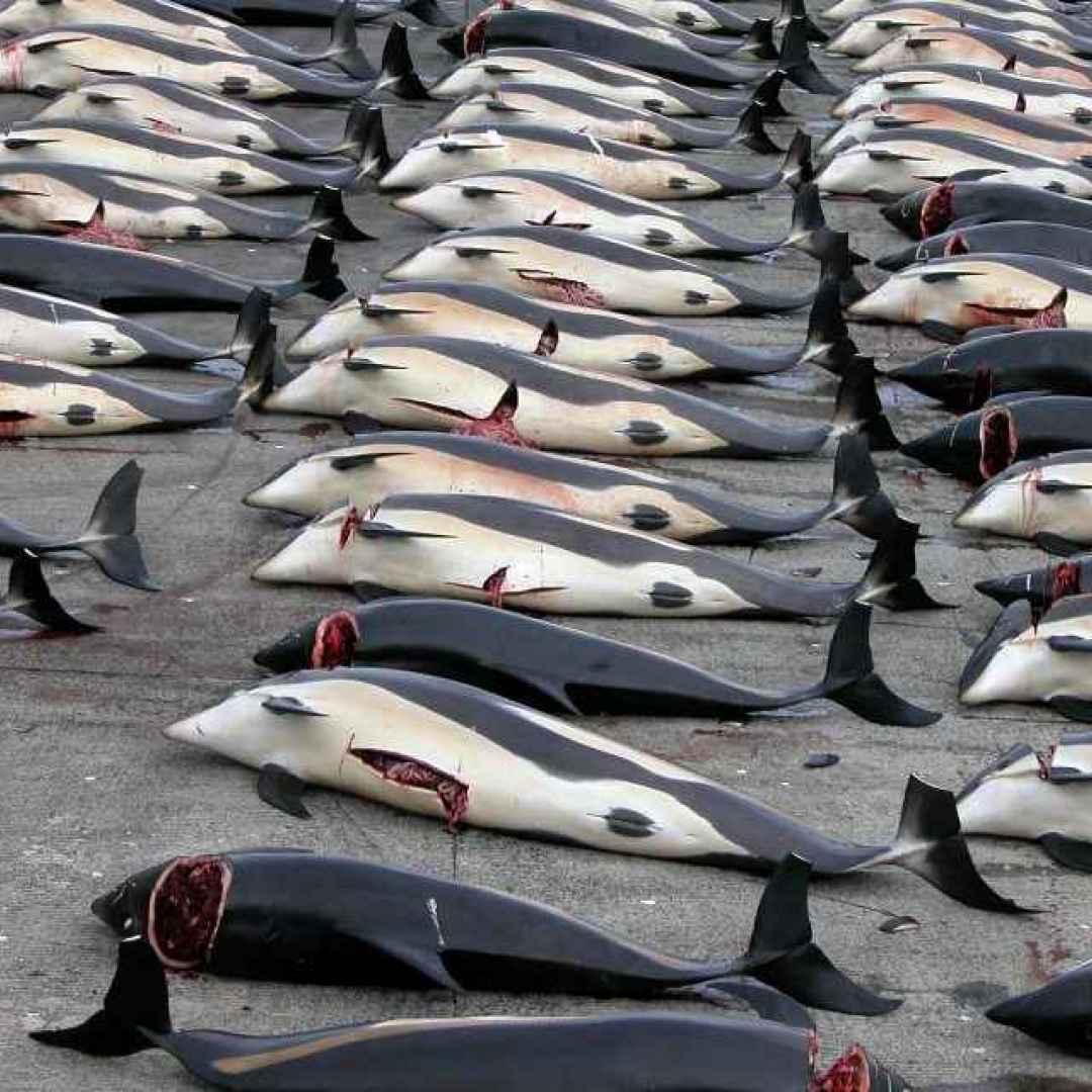balene  giappone  animali