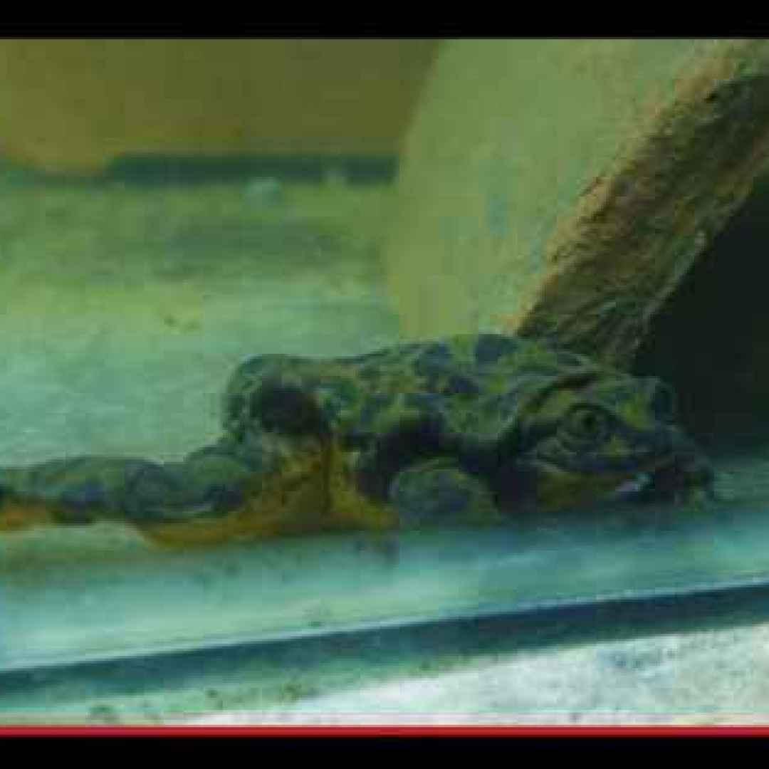animali  rane  anfibi  sudamerica