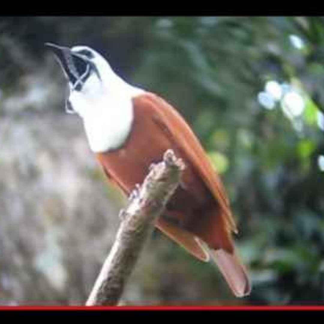 uccelli  animali  natura  centroamerica