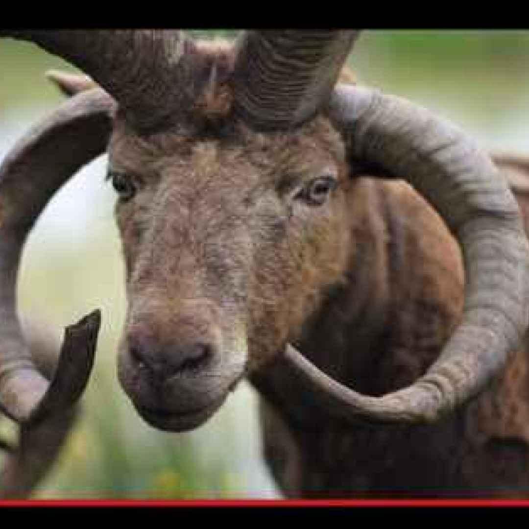 animali  razze  pecore  fattoria  man