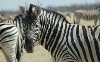 zebre  africa