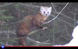 Animali: animali  predatori  mustelidi  martora