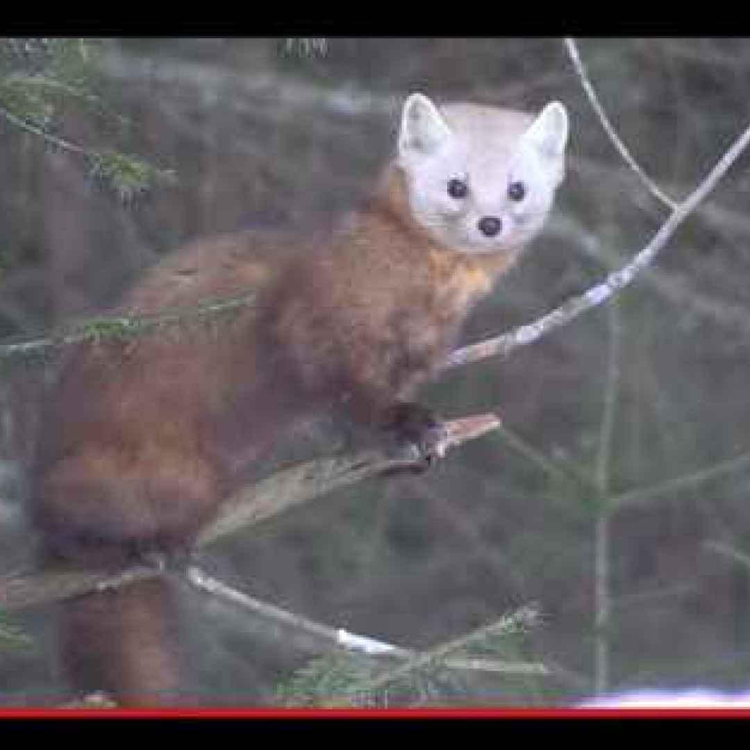 Il predatore che sconfigge lo scoiattolo al suo stesso gioco animali