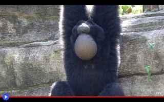 animali  scimmie  primati  famiglie